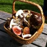 Svampkorgen innehåller en liten del av skörden från vår svampdag vid Embarsboda